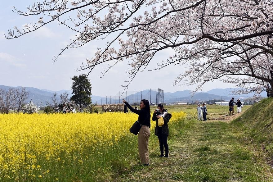 藤原京跡の桜 (5)