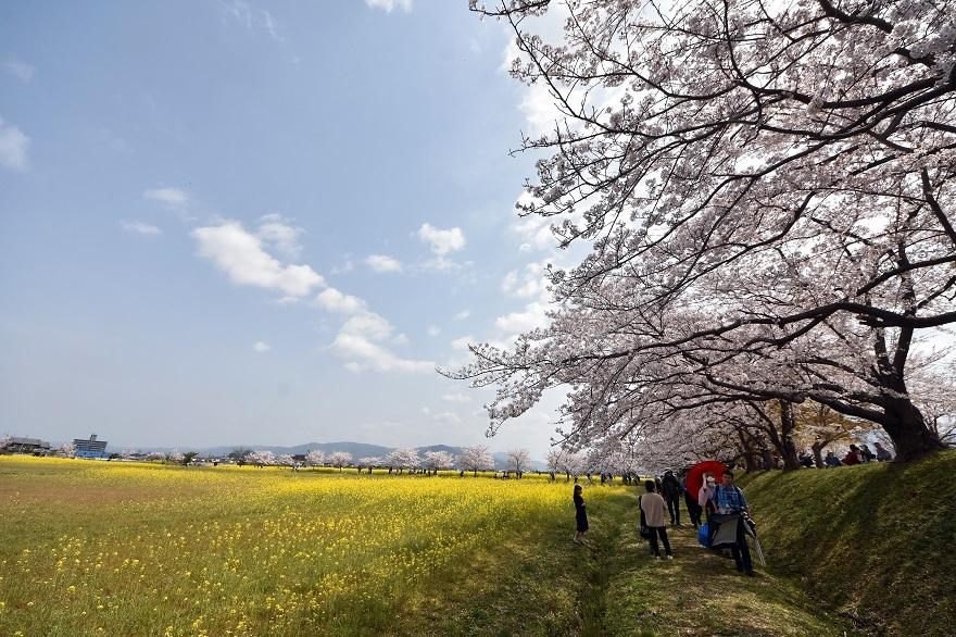 藤原京跡の桜 (6)