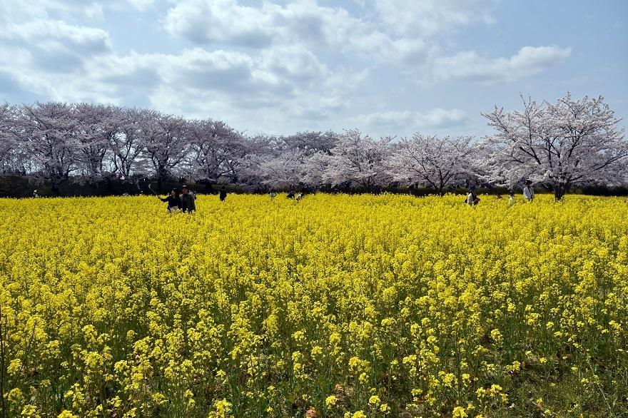 藤原京跡の桜 (8)