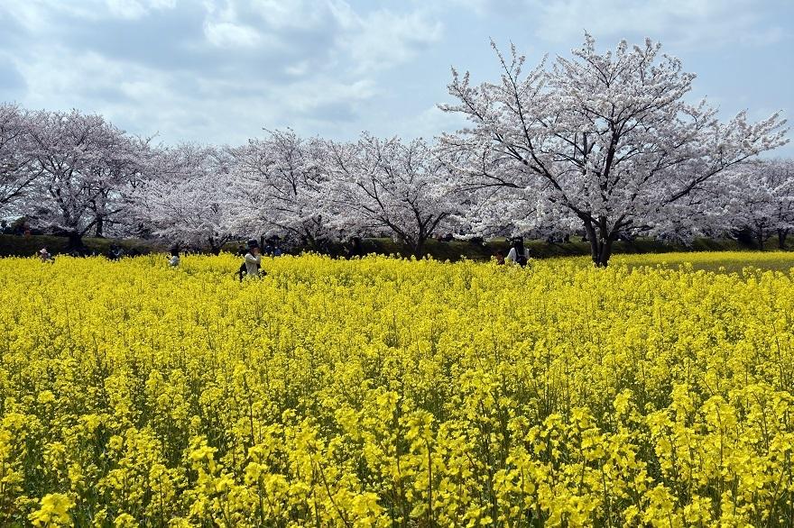 藤原京跡の桜 (9)