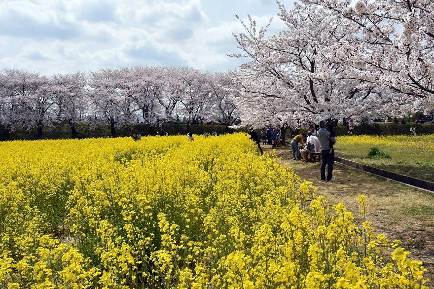 藤原京跡の桜 (010)