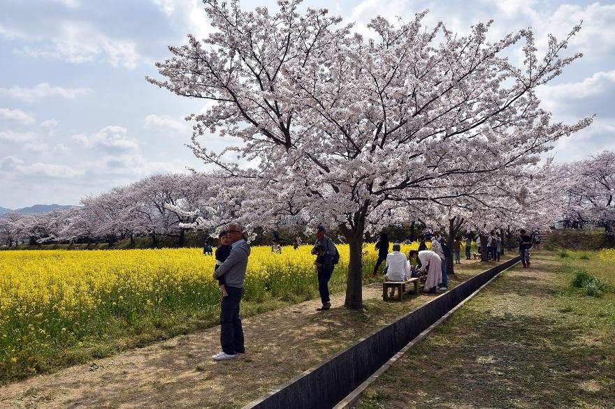 藤原京跡の桜 (10)