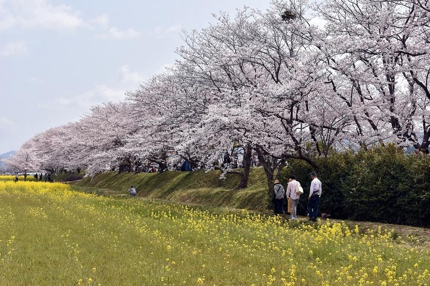 藤原京跡の桜 (12)