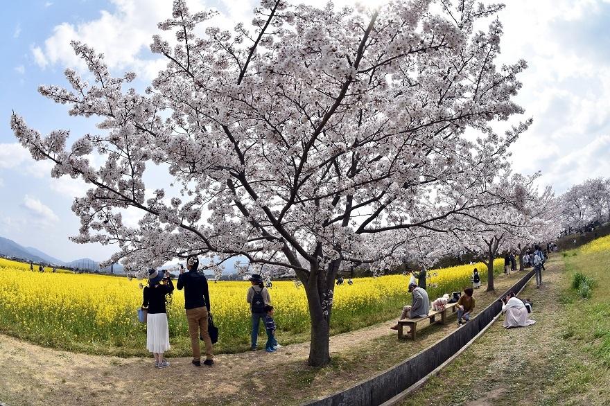 藤原京跡の桜 (011)