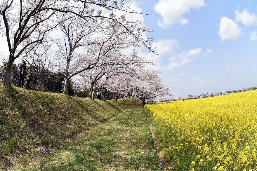 藤原京跡の桜 (13)