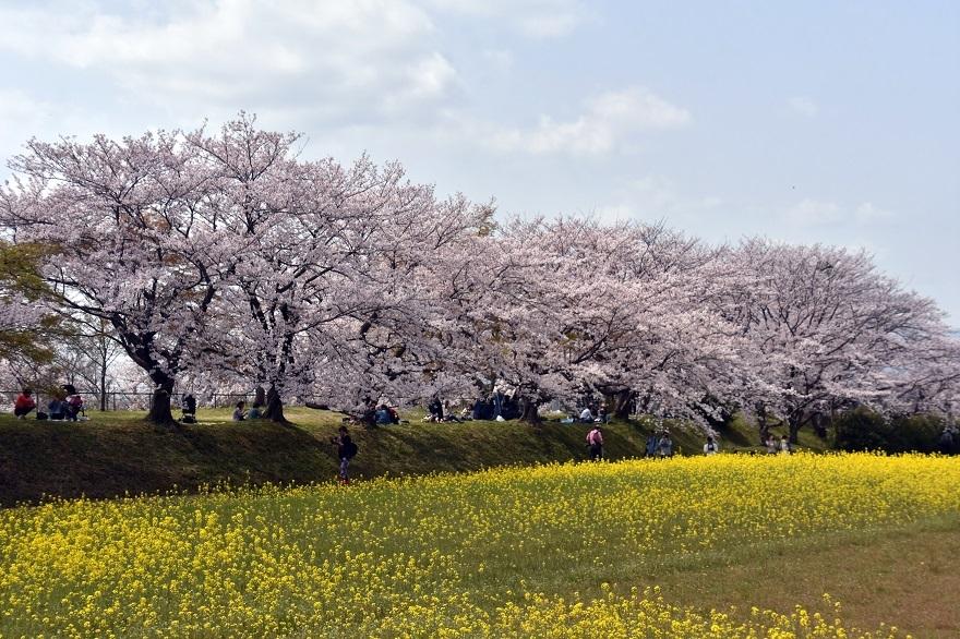 藤原京跡の桜 (14)