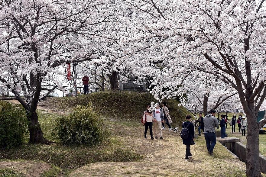 藤原京跡の桜 (15)