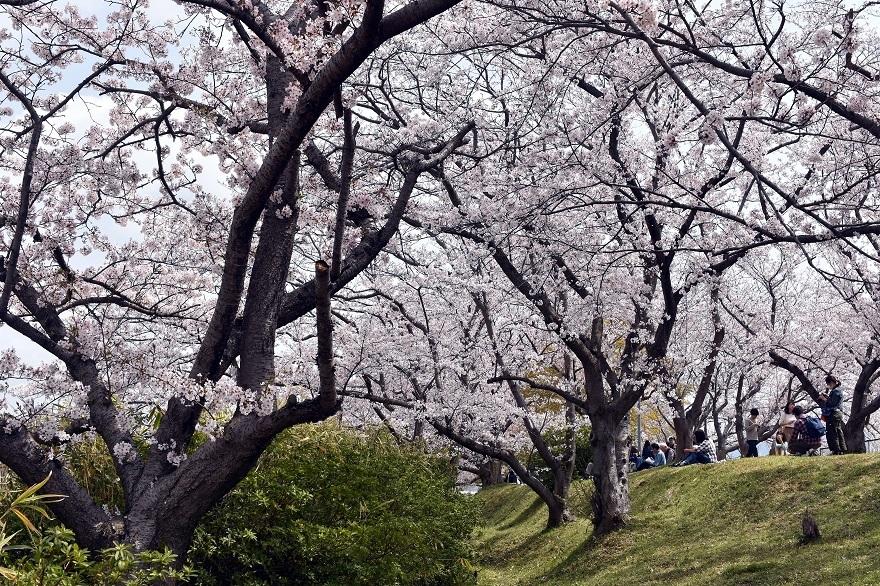 藤原京跡の桜 (16)