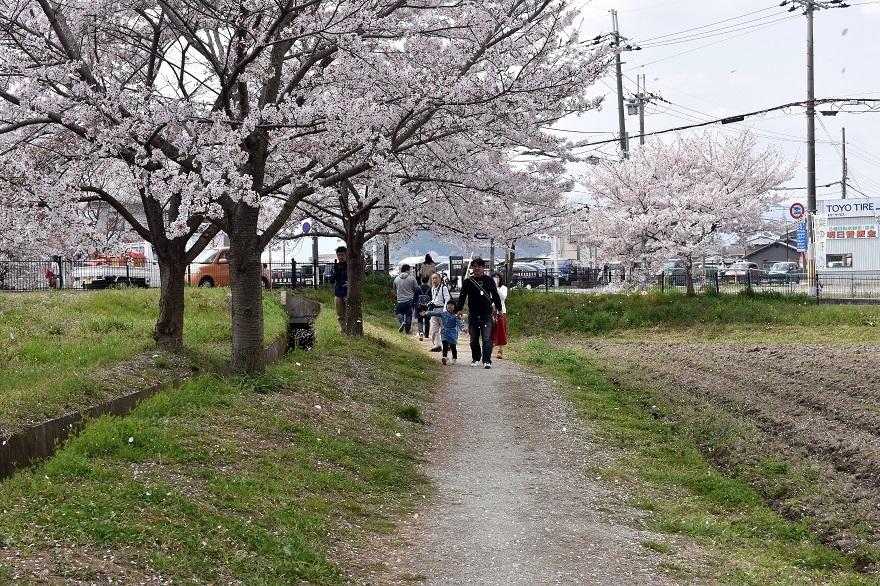 藤原京跡の桜 (17)