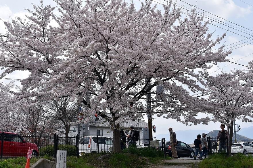 藤原京跡の桜 (18)