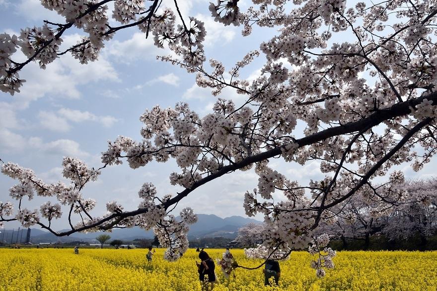 藤原京跡の桜 (11)