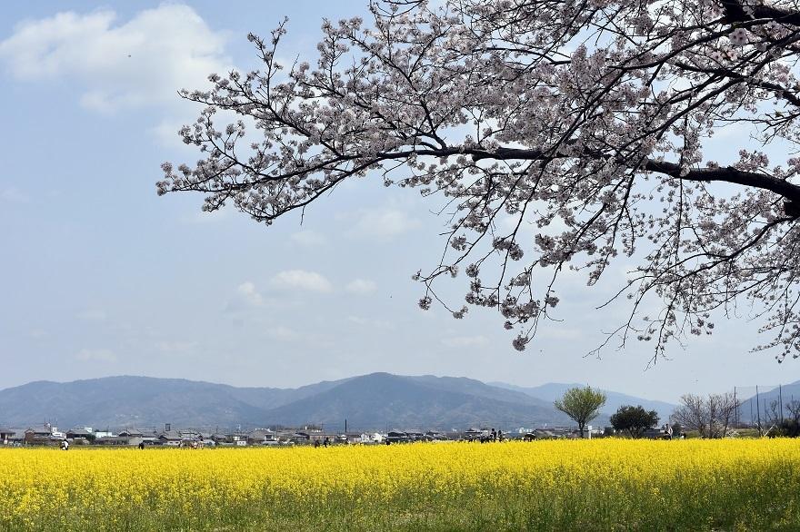 藤原京跡の桜 (008)