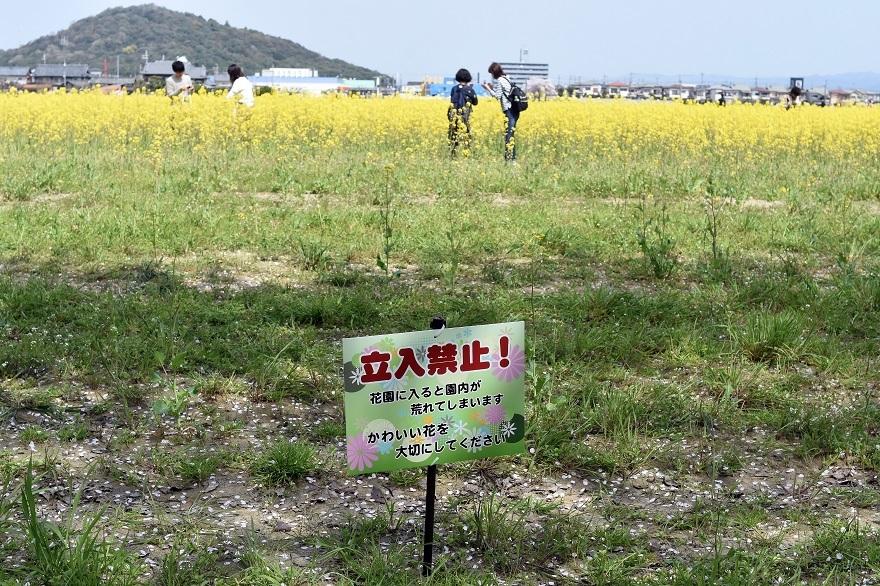 藤原京跡の桜 (08)