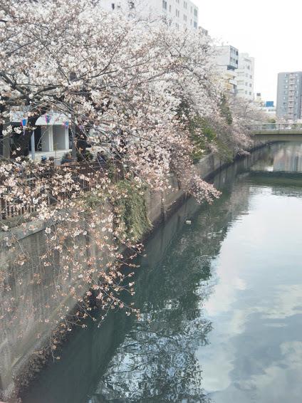 ootagawasakura2.jpg