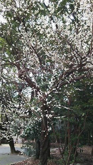 1 今年最初の桜