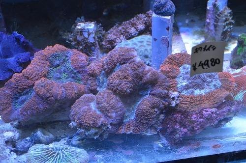 サンゴ乳井か (6)