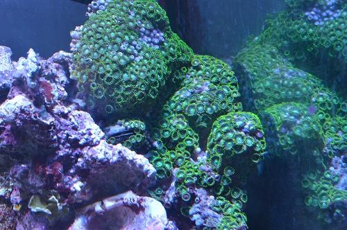 サンゴ乳井か (8)