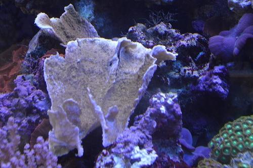 コモンサンゴ (4)