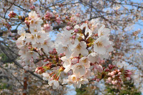 s-20180328桜