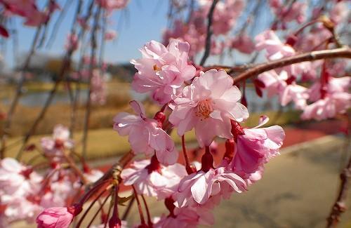 s-枝垂れ桜20180331