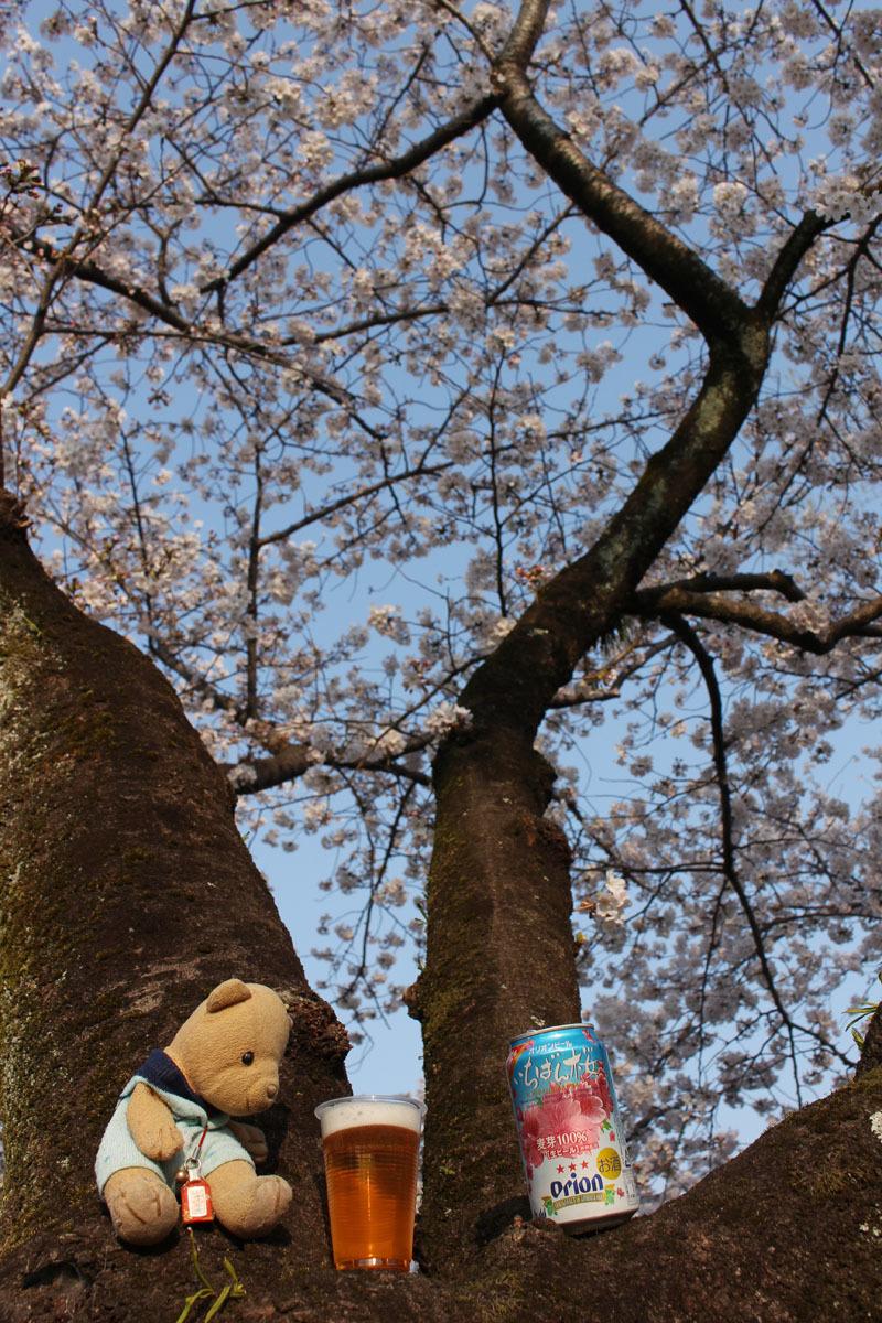 オリオンビールいちばん桜と 駿府城公園の桜の木の上で 180326