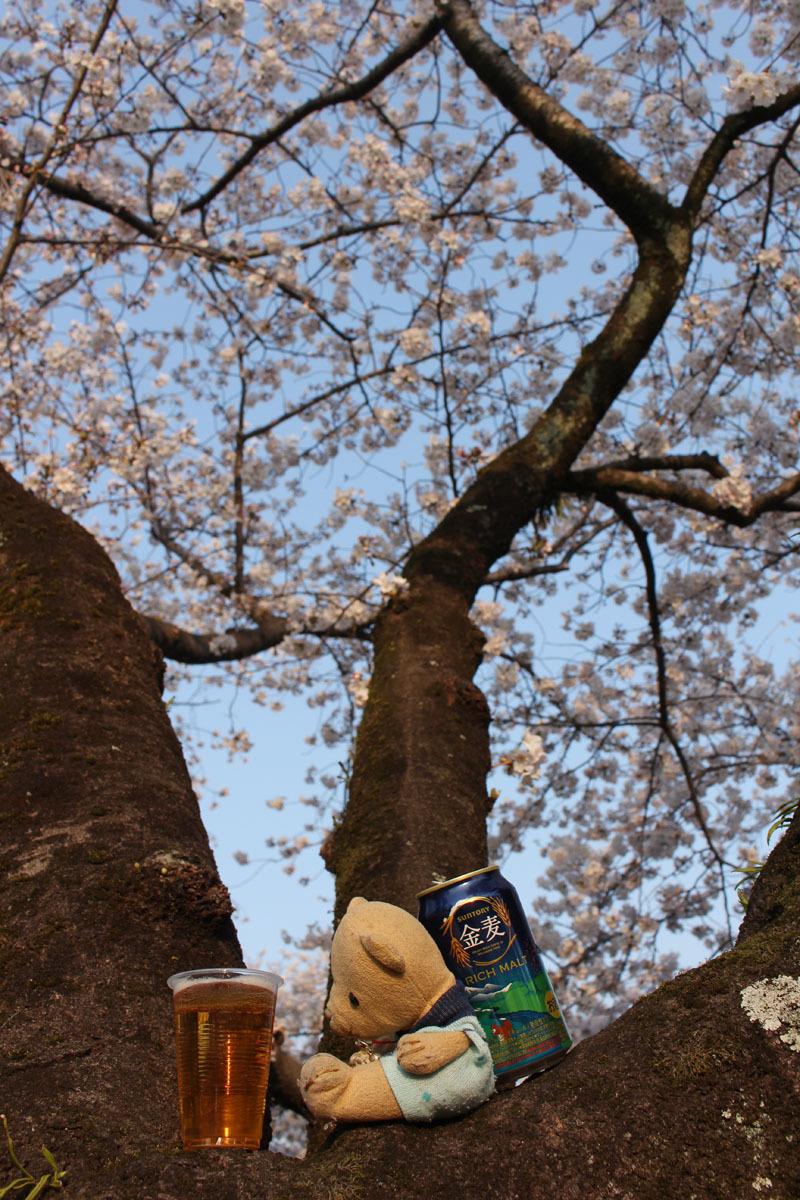 金麦入りのコップを見つめる 駿府城公園の桜の樹上で 180326