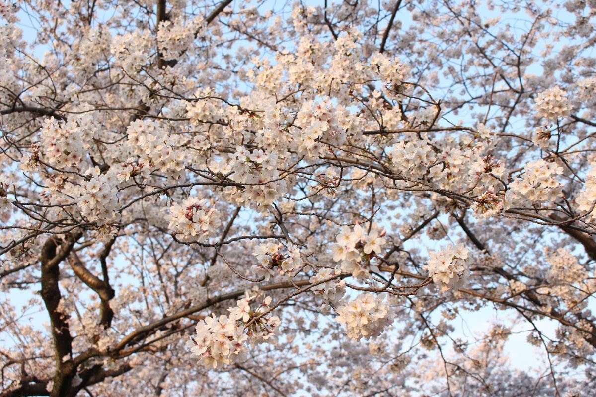 駿府城公園中央付近のソメイヨシノ 180326