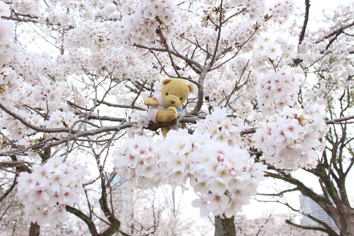ソメイヨシノの枝に 駿府城公園 180324