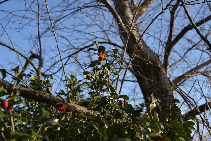 桜と椿-4