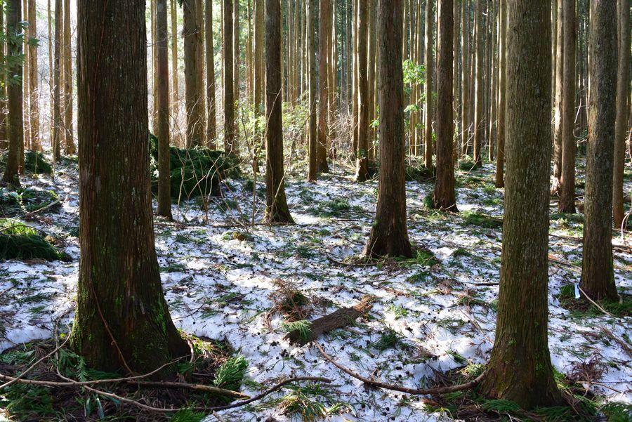 雪の残る林-1