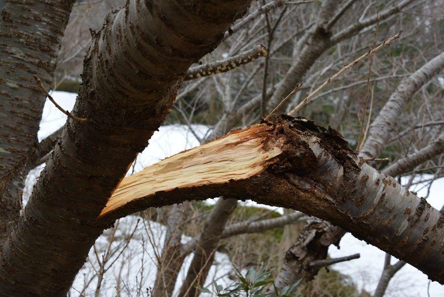 雪害 倒木-2