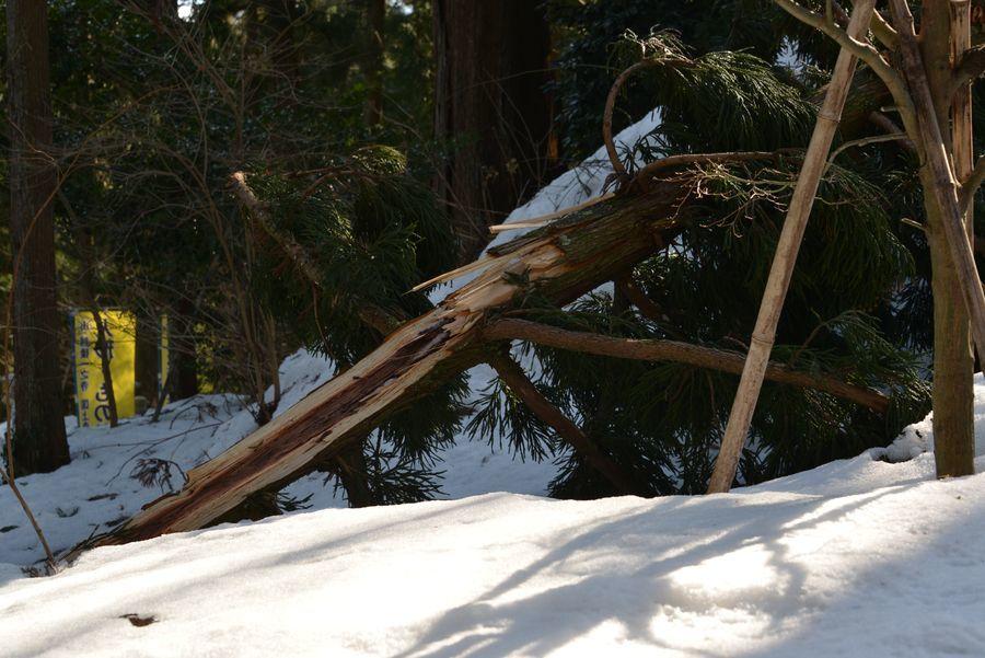雪害 倒木-4