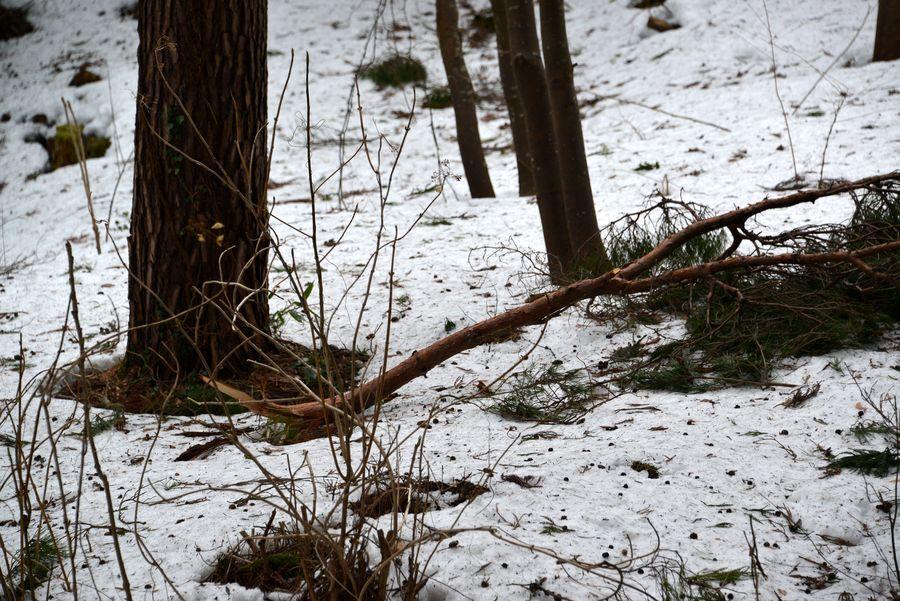 雪害 倒木-5