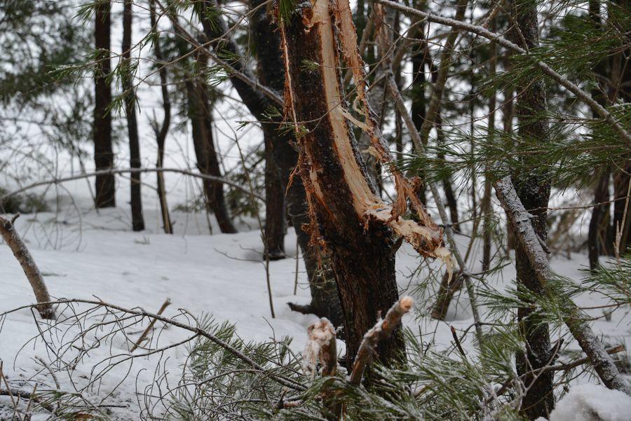 雪害 倒木-6