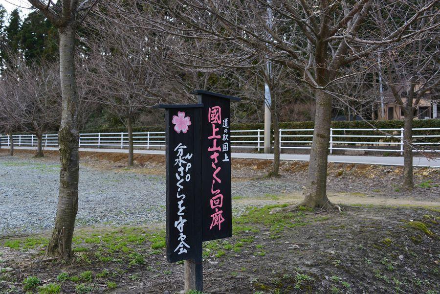 桜は未だか-1