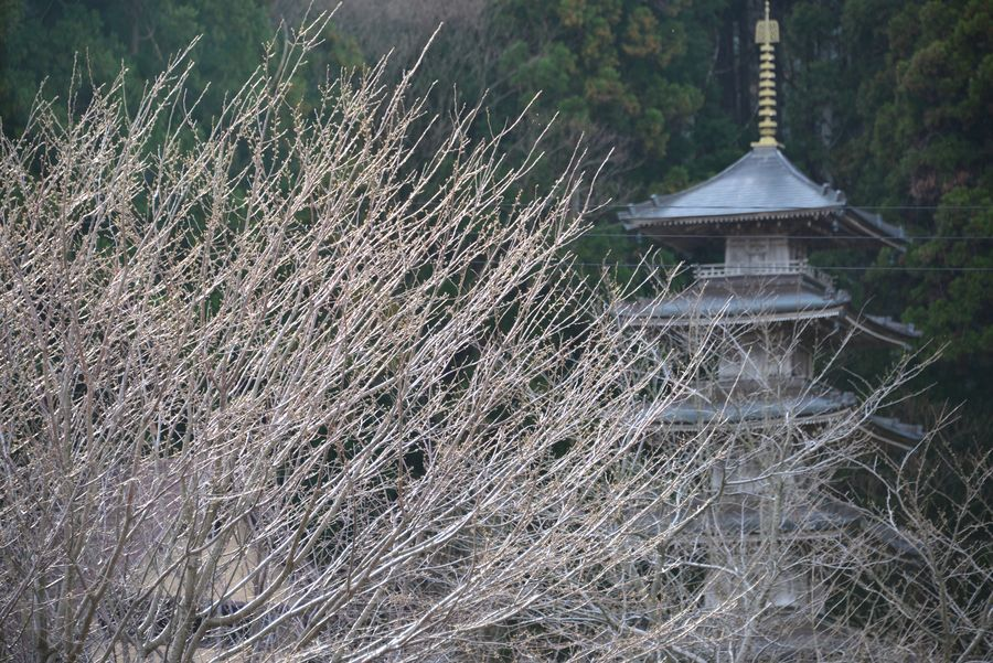 桜は未だか-7