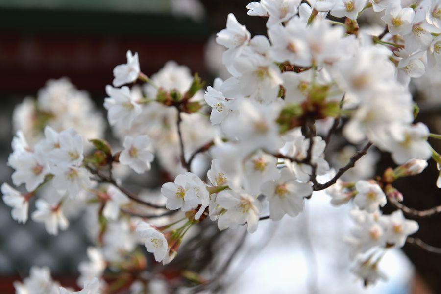 桜咲く-4