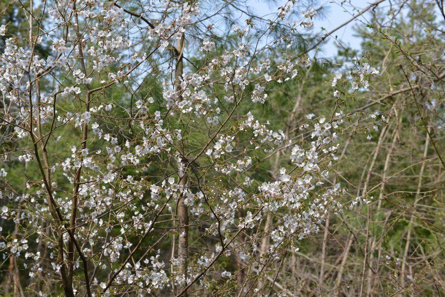 桜咲く-5