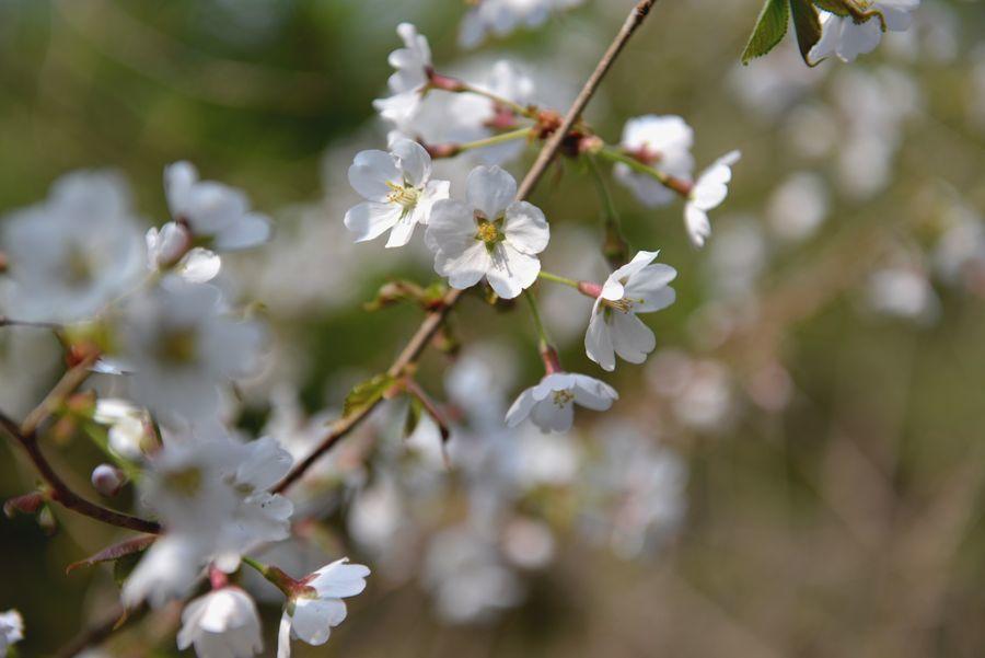 桜咲く-7