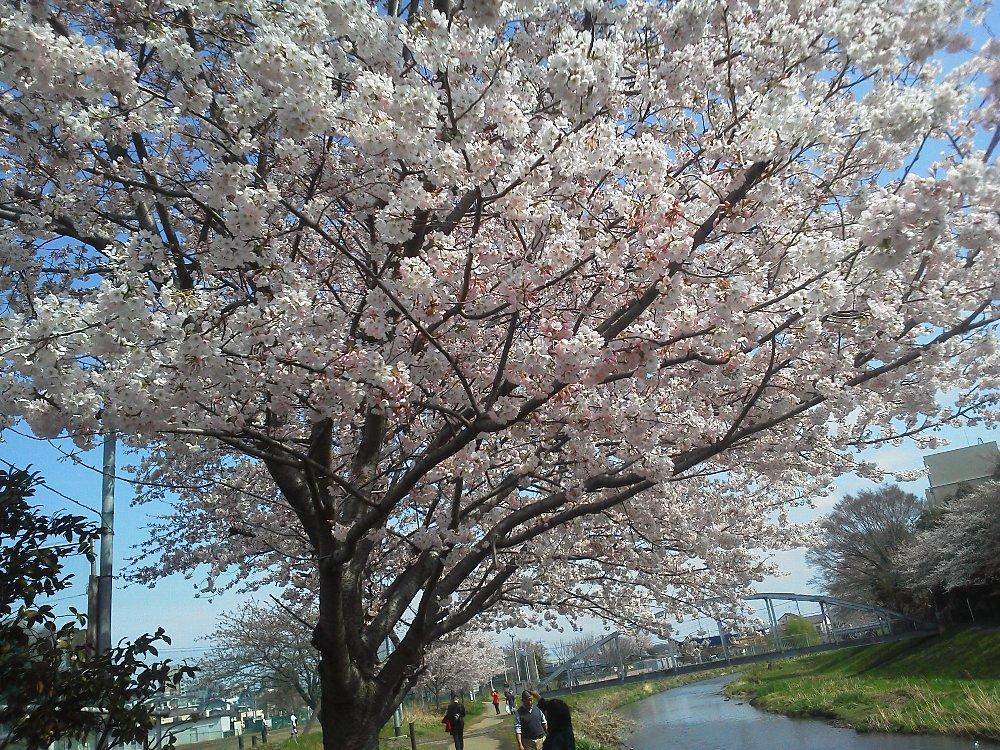 F1000074黒目川溝沼池田橋付近3月24日