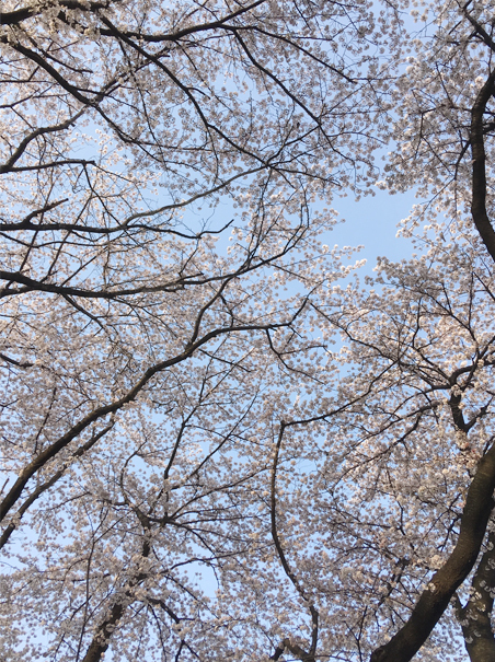桜の中の鳥