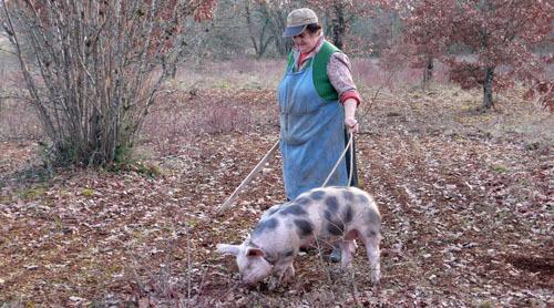 トリュフ 豚
