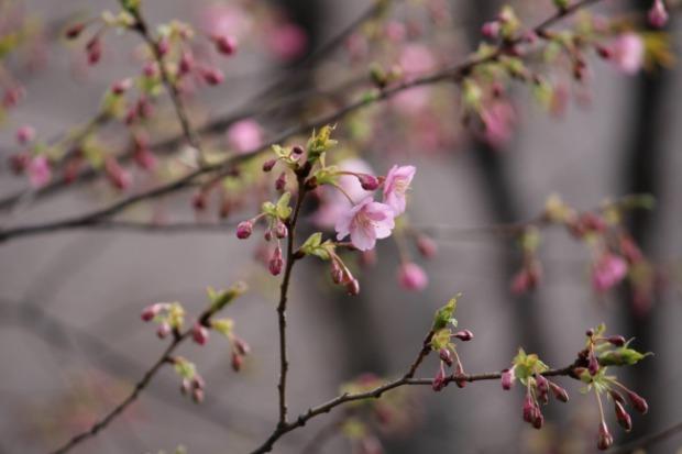 s_河津桜