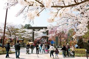開成山の美しい桜