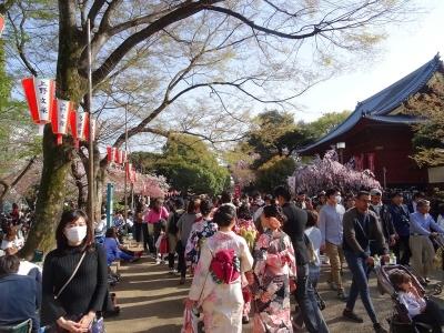上野恩玉公園の桜(2018.3.31)満開!桜吹雪でした~