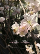 サクラとミツバチ 3a