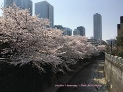 神田川の桜 1a