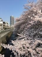 神田川の桜 2a