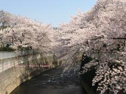 神田川の桜 3a