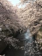 神田川の桜 4a